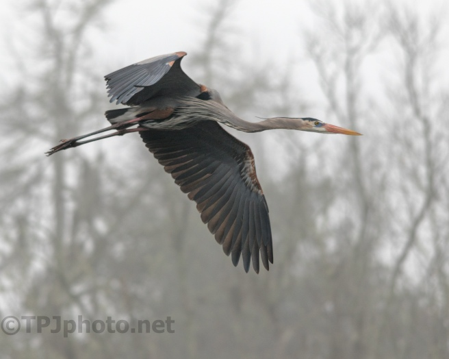 Heron, Foggy Fly By - Click To Enlarge