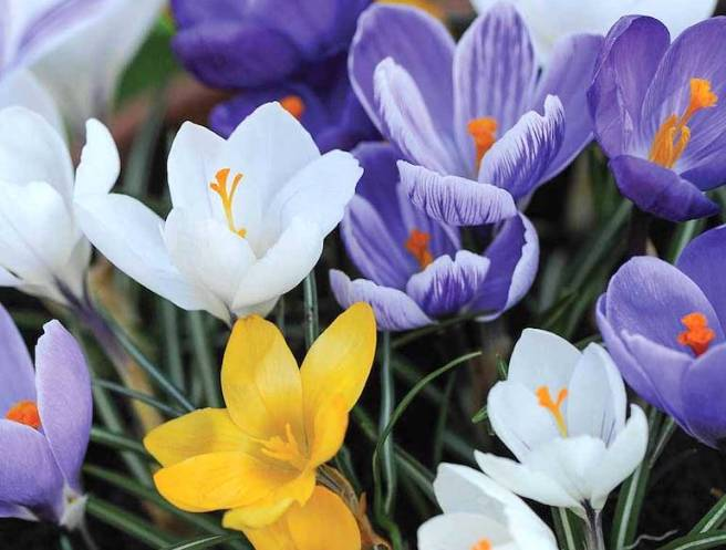 crocus-top-10-flowering.jpg